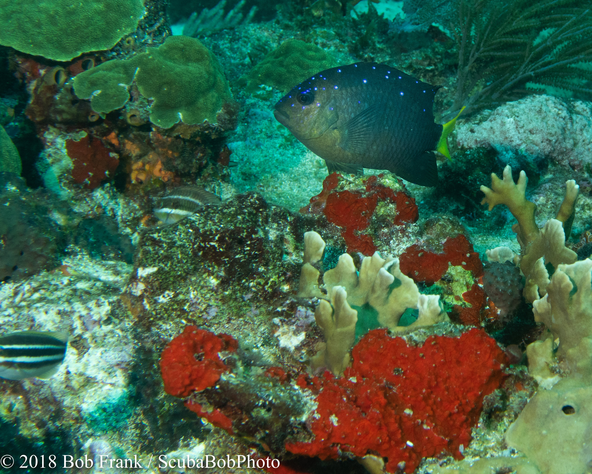 Yellow-tailed Damselfish