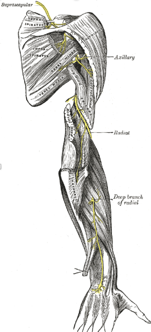 Radial Nerve from the Posterior View