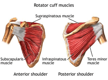 The rotator cuff almost completely encases the humeral head and acts as an active stabiliser of the gleno-humeral joint.