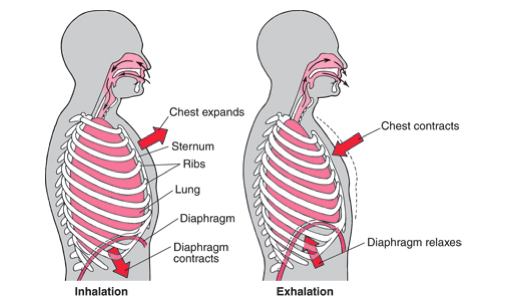 As the diaphragm contracts it draws down to 'pull' air into the lungs/ thoracic cavity.