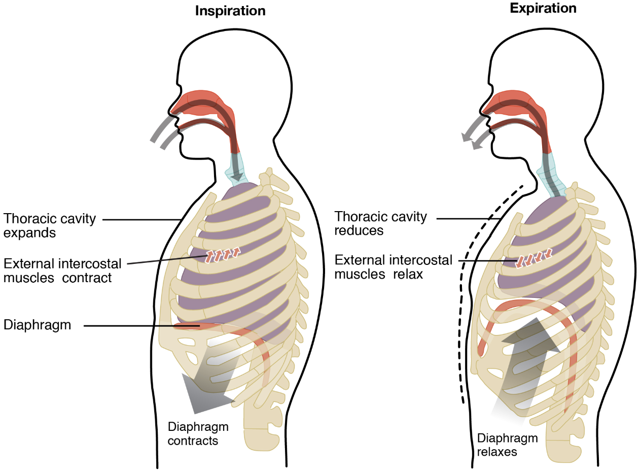 When we inhale, air is drawn inside the thoracic cavity/ lungs by a pressure decrease through diaphragmatic activation.