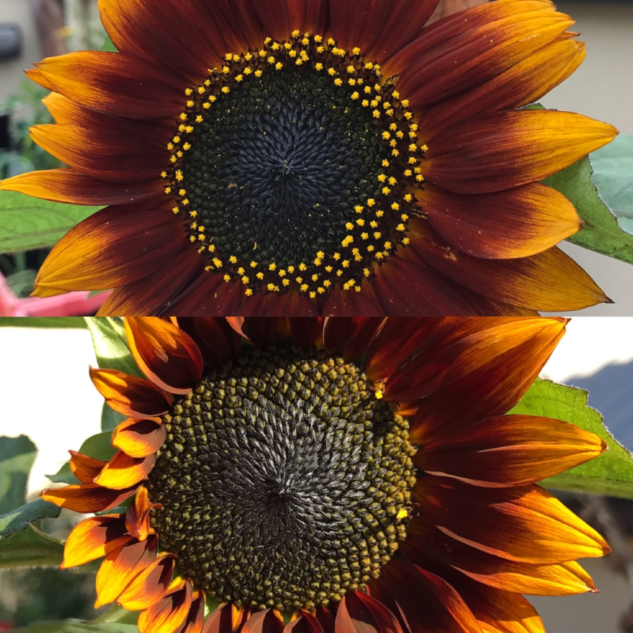 Two consecutive days in the life of a sunflower on the roof of CCP HQ.
