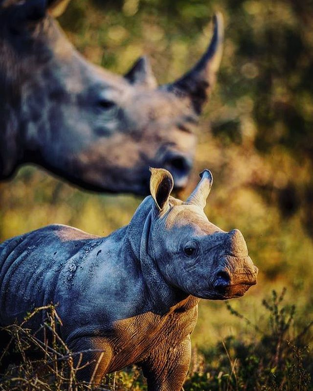 #WorldRhinoDay Holding hopeful thoughts for the next generation of rhinos and humans living harmoniously together. No one needs #rhinohorn more than #rhinos #🦏 . . #rhino #babyrhino #elephant #africa #safari #wildlife #wildlifeconservation #rhinolover #pachyderm #giant #southafrica #stoppoaching #stoptrophyhunting #nonprofit #educate #support #nature #beauty #family #rhinolove #savetherhino #animallovers #wildlifephotography