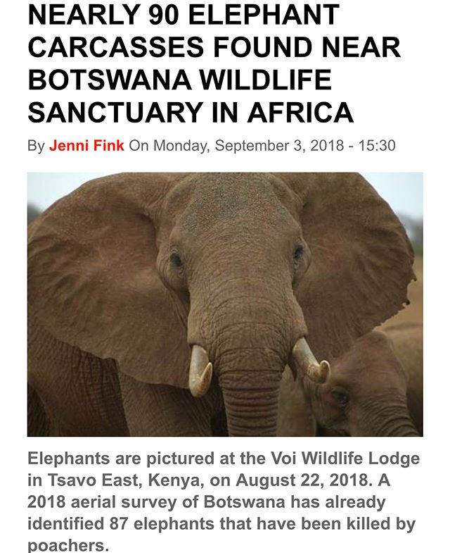 Devastating news out of Botswana. (Thought to have been a safe haven for #elephants across the continent.) Elephants Without Borders, which is conducting an aerial survey, said the scale of #poaching deaths is the largest seen in #Africa . The new #Botswana government disarmed its anti-poaching units in May. This is not the time to retreat but the last opportunity to tackle the poaching epidemic immediately! So much is at stake and every government around the #world must work together to ensure the survival of this remarkable species. Our thoughts are with the orphaned elephants and relatives of the 90+ elephants we lost in the last few weeks. 💔 . . . #elephant #elephants #stoppoaching #savetheelephants #breakingnews #africa  #government #wildlife #wildlifeconservation #nonprofit #teamwork #rangers #conservationist #biglife #elephantlover #babyelephant #activism #education #nature #healing #heartbreak #bbc #newsweek #news