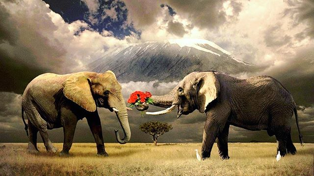Happy #ValentinesDay from @wildlifewakeupcall ! Elephants in particular have such a deep bond with one another. Wishing all animal lovers a beautiful day filled with love ❤️ . . . #vday #valentine #valentines #animals #elephant #elephants #anilmallovers #elephantlover #elephantlove #africa #Kilimanjaro #tanzania #blackandwhite #sepia #flowers #bouquet #roses #wildlife #love #joy #peace #wildlifeconservation #wildlifephotography #safari #elephantlove