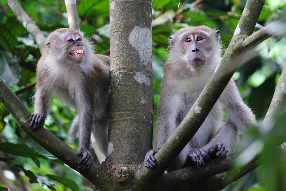 A smiling macaque