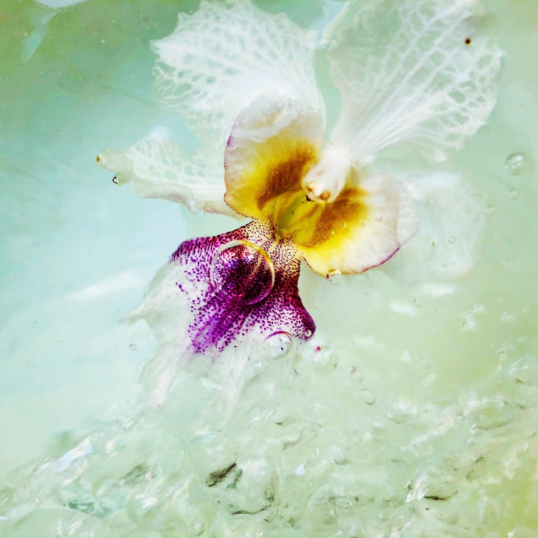 Papilionanthe  Miss Joaquim, also known as  Vanda  Miss Joaquim