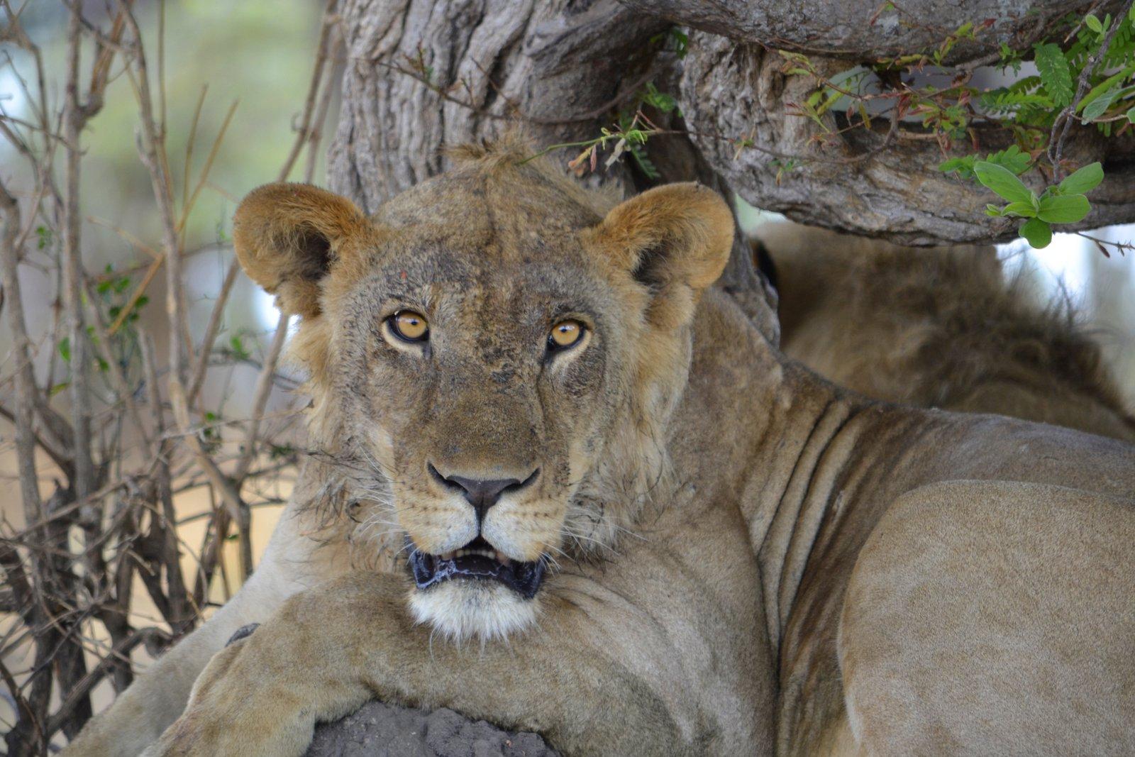 1-Katavi Lion.jpg