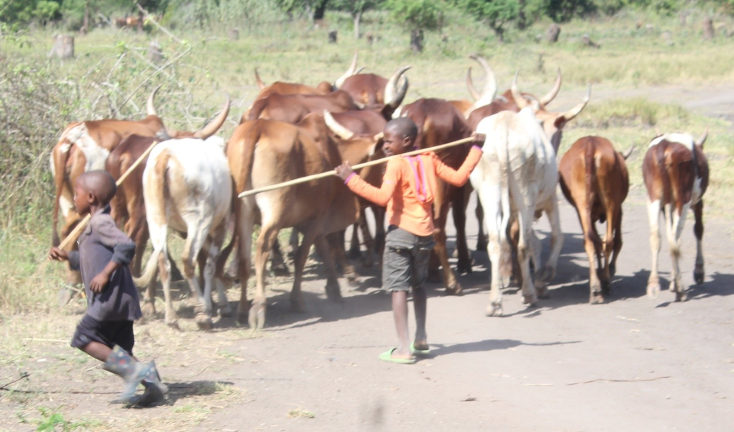 Most children from the agro-pastoral Sukuma communities are livestock grazers, thus discouraged from schools and encourage to inherit lion hunting traditions.