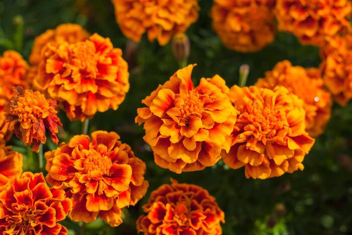 Marigold-4.jpg