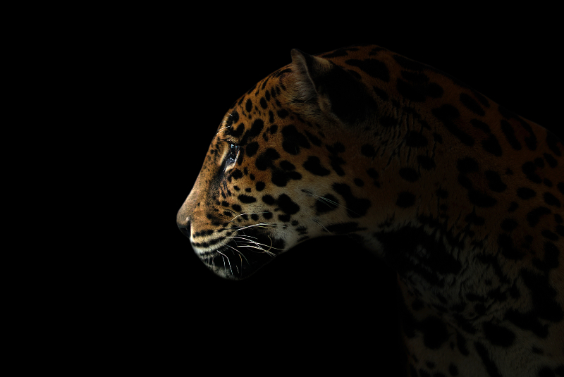 Jaguar_cropped.jpg
