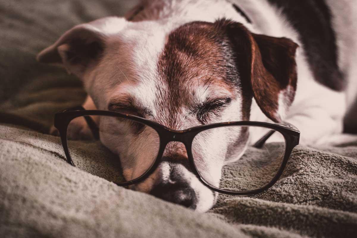 Dog asleep wearing glasses