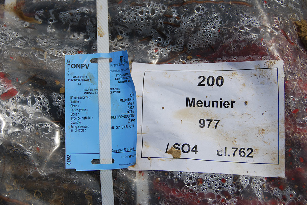 15,000 Meunier vines from French nurseries