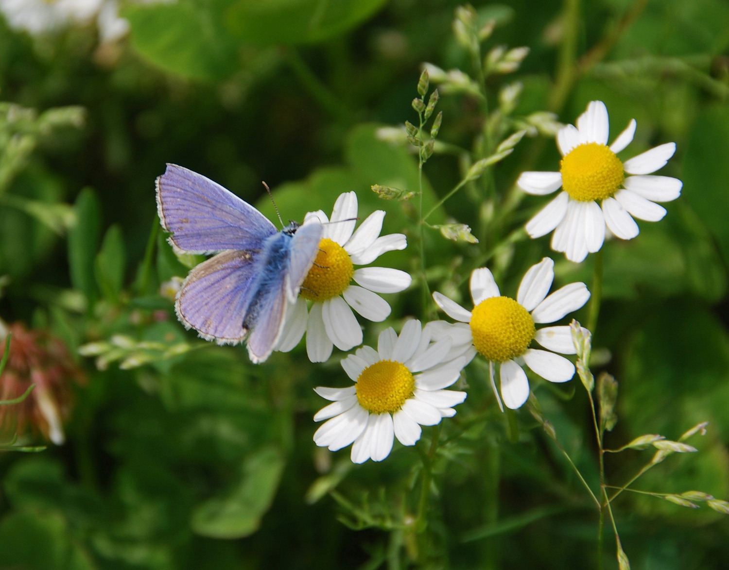 Beautiful common blue butterfly on the Ox-eye daisies