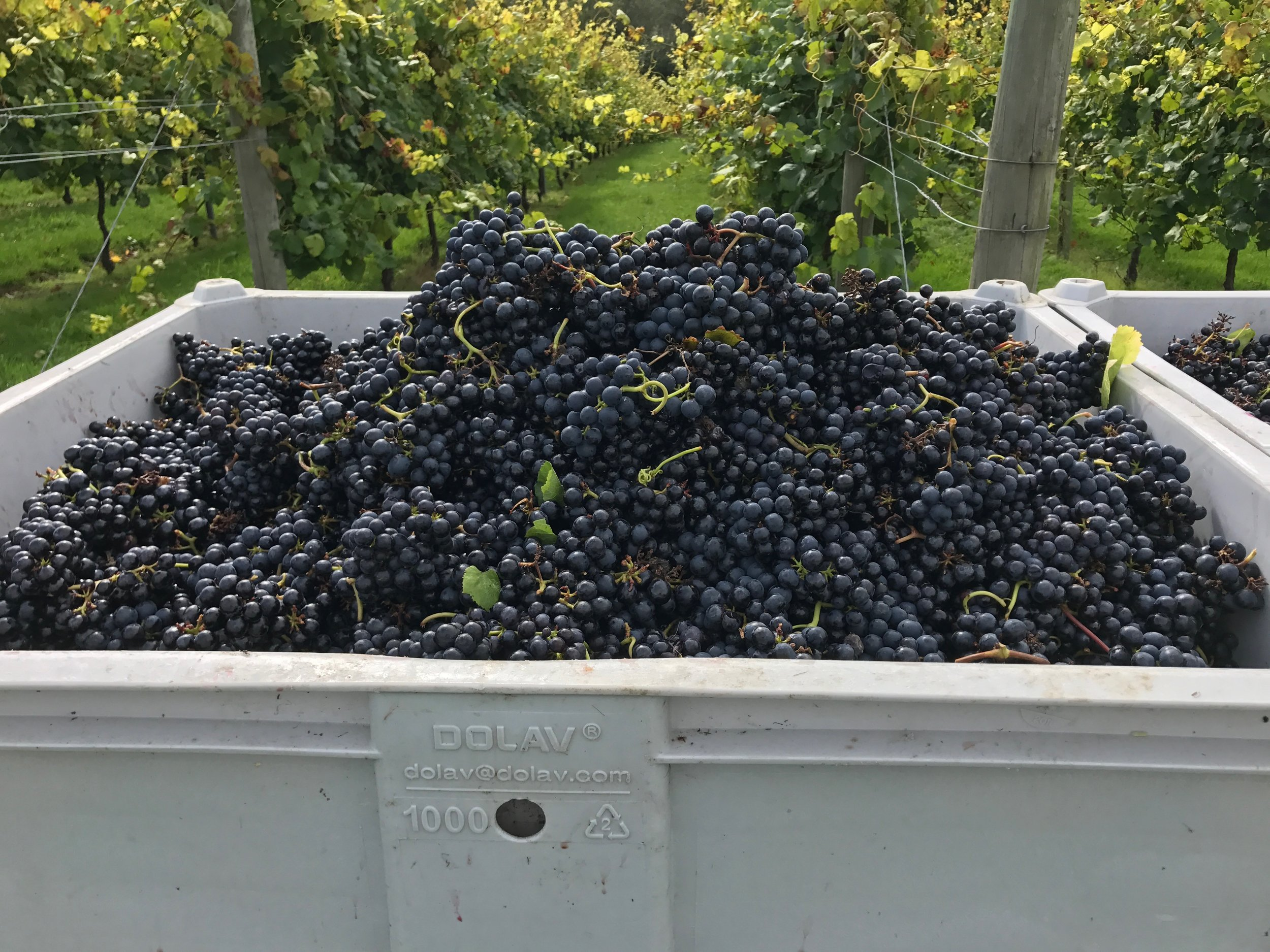 We've been helping out at Bolney Estate during harvest: this freshly-picked Rondo is looking especially good!