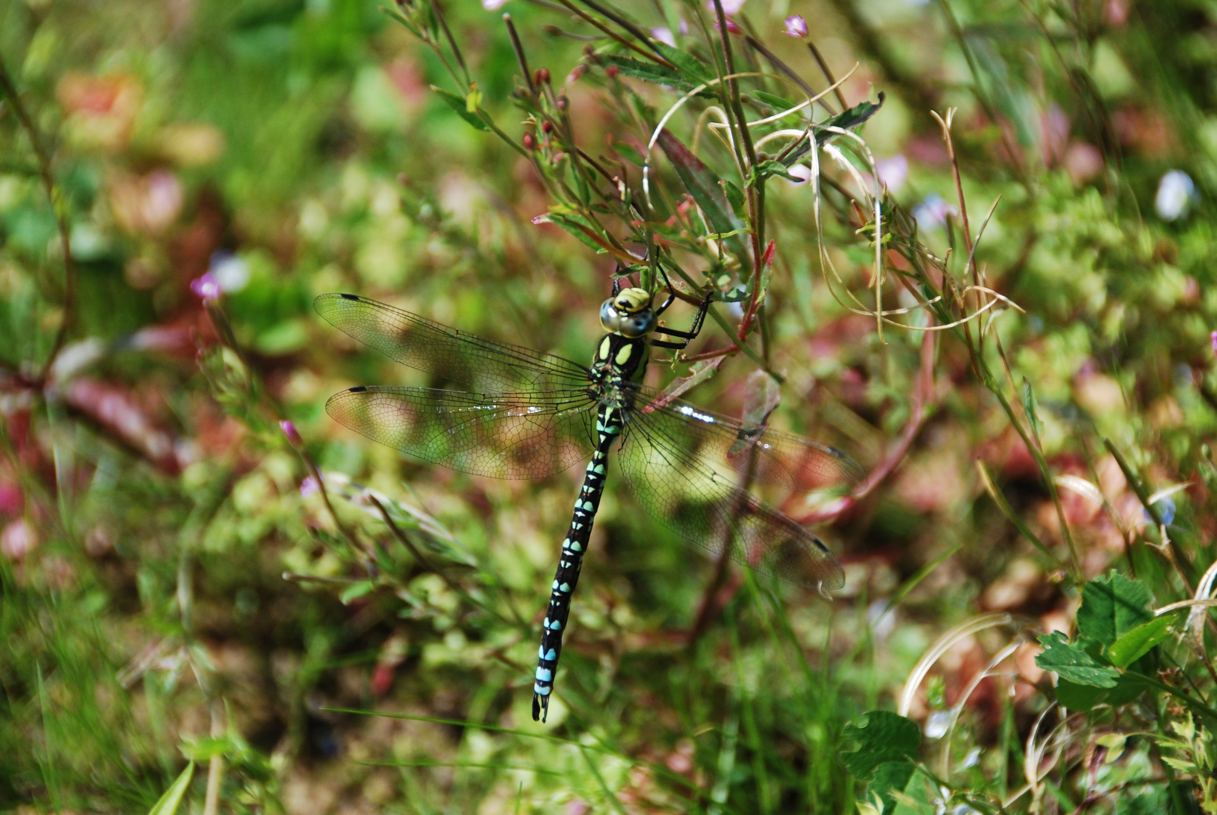 A common hawker dragonfly makes up just part of the vineyard wildlife!