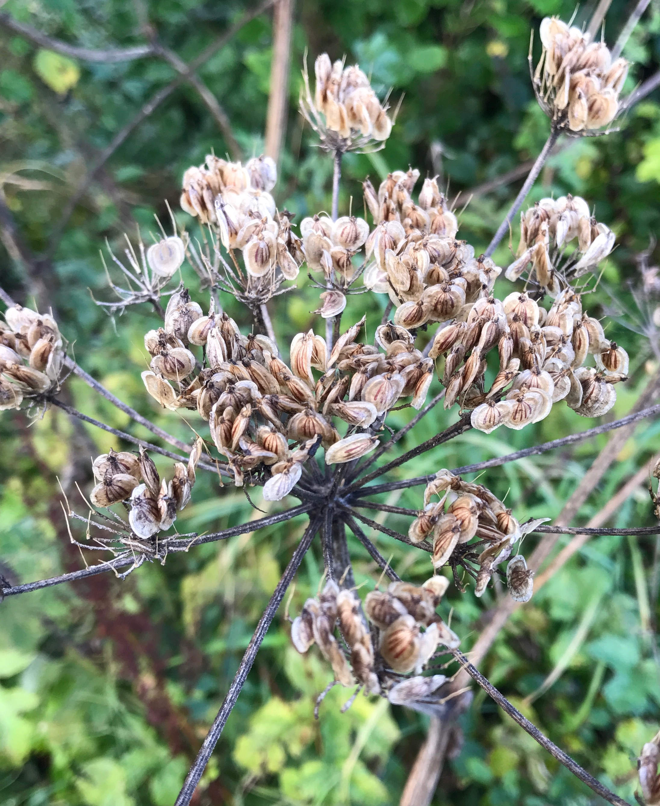 Cow parsley seed heads spotted on site