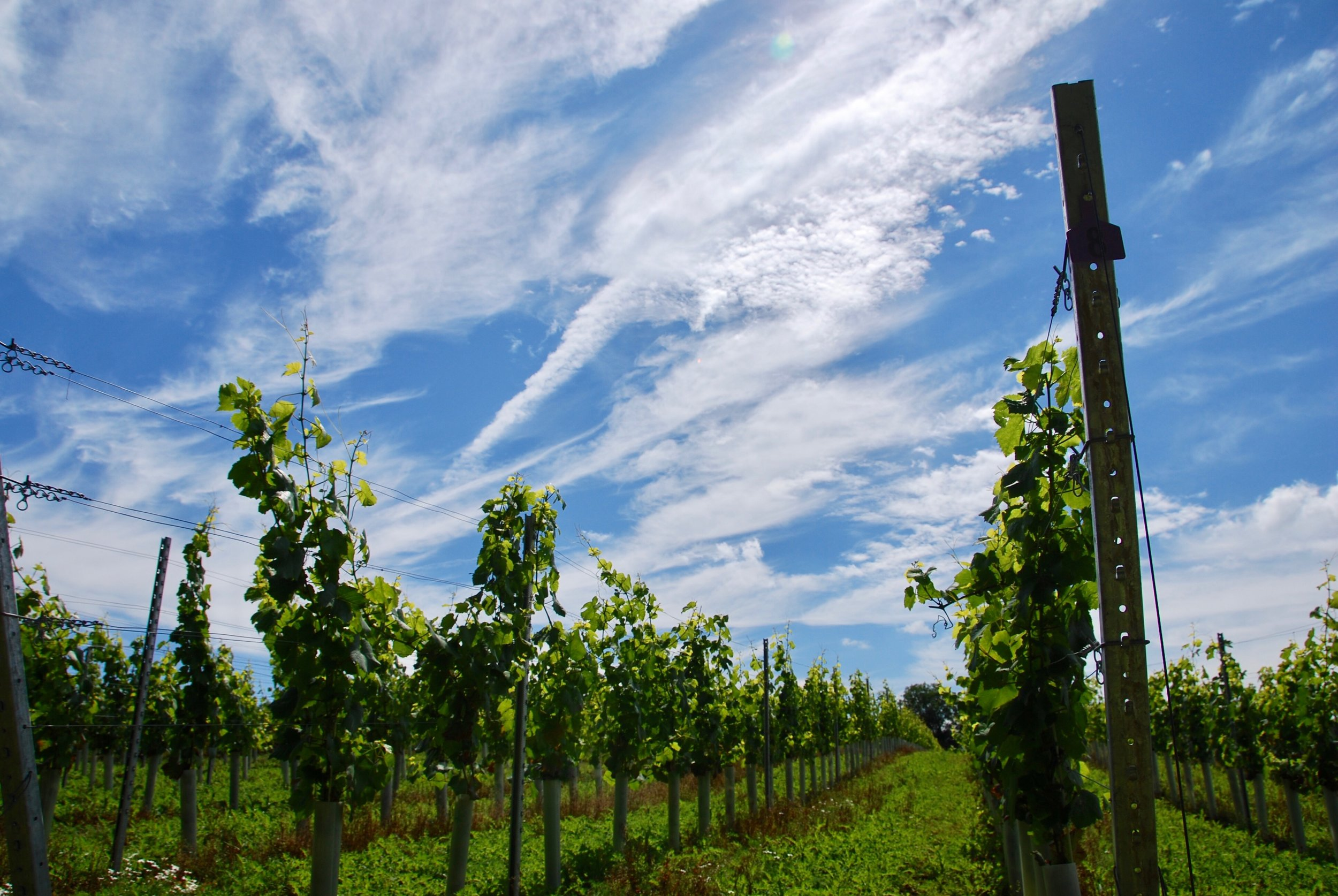 A beautiful summer's day, and the vines are looking very happy and healthy!