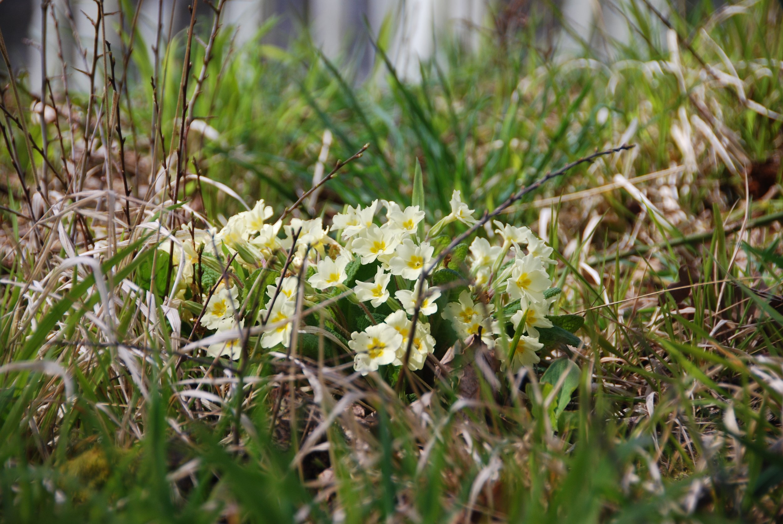 Wild primulas are also in bloom around the vineyard.