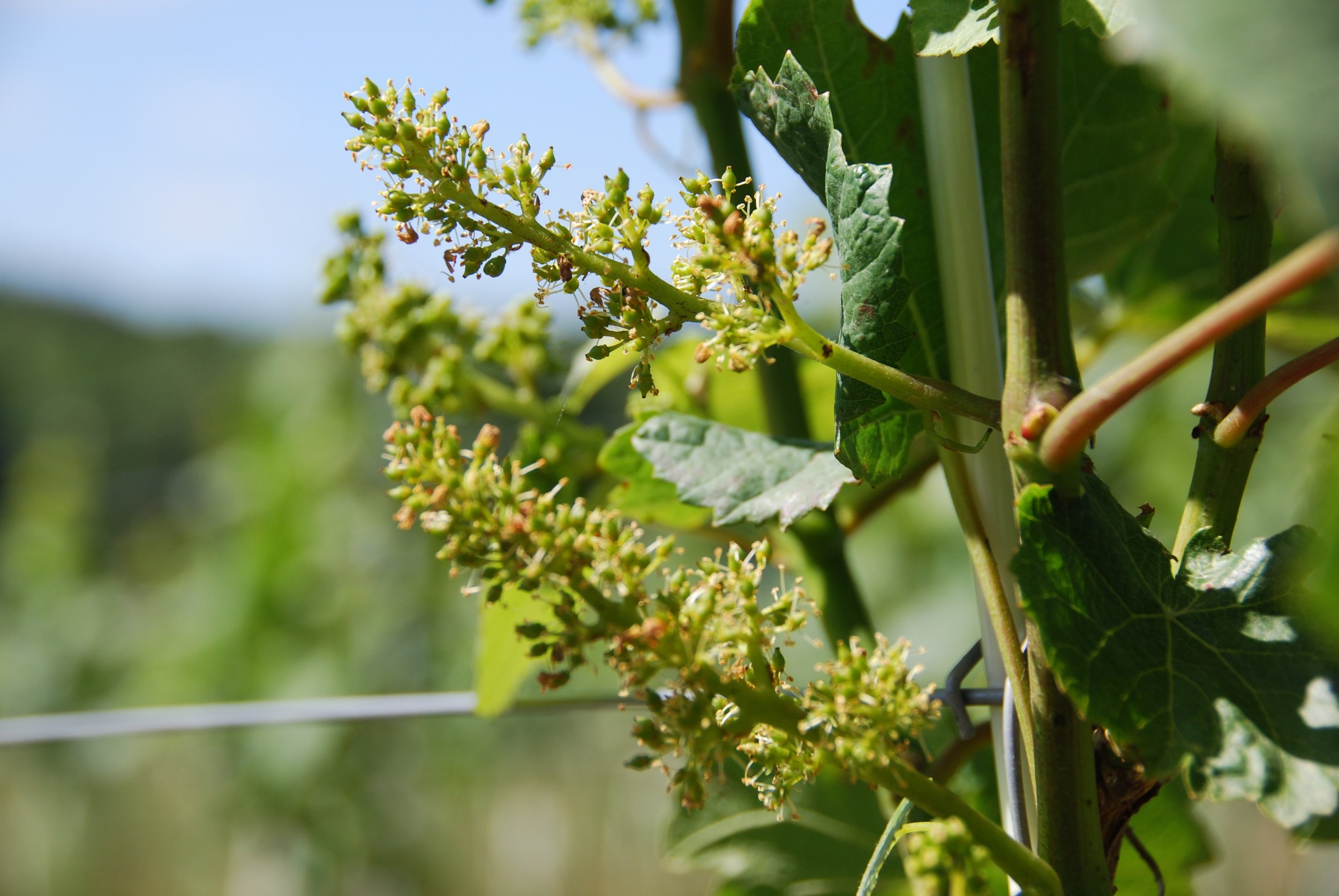 The recent spell of warm weather means that the vines have flowered earlier than expected, given the relatively late start to the season. Fingers crossed now for fruit-set in a few weeks!