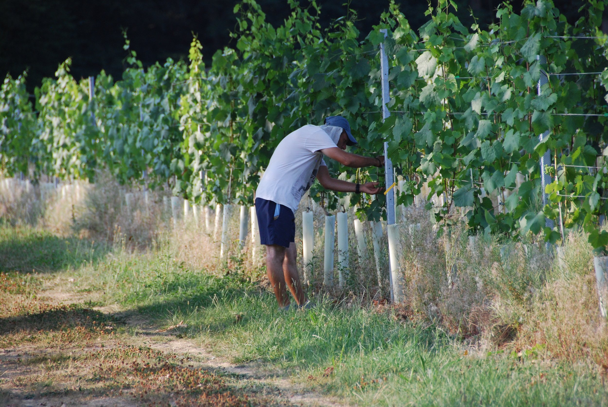 The Vineworks team have been in to help us with some necessary green harvesting.