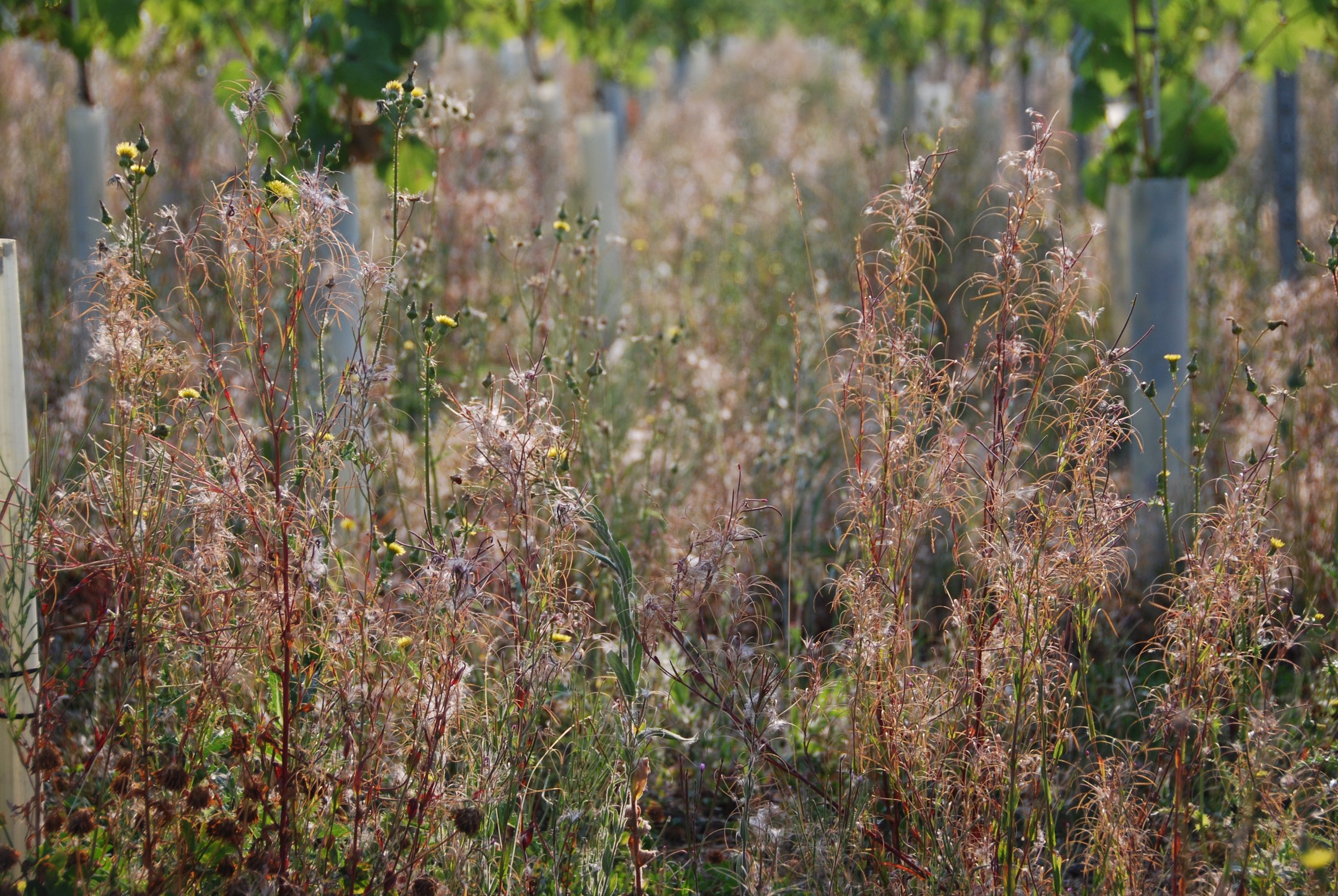 As well as the vines, the resilient Willowherb is also thriving in some places across site...