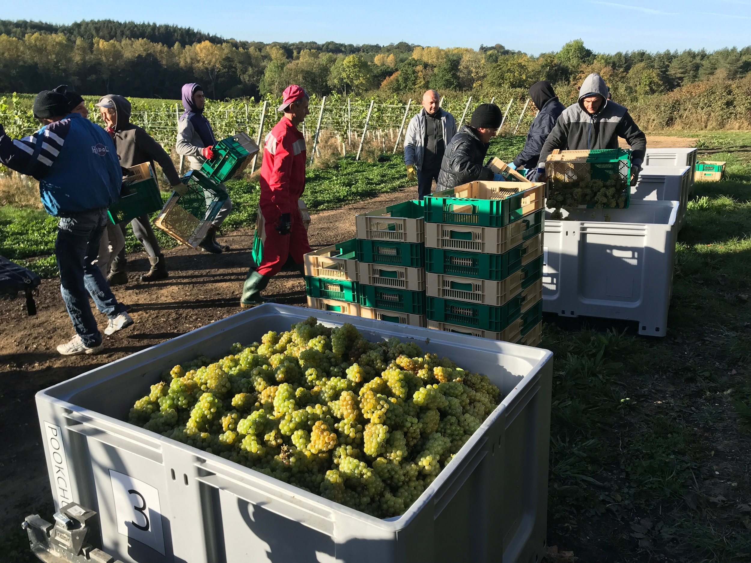 The picking team start on the Chardonnay