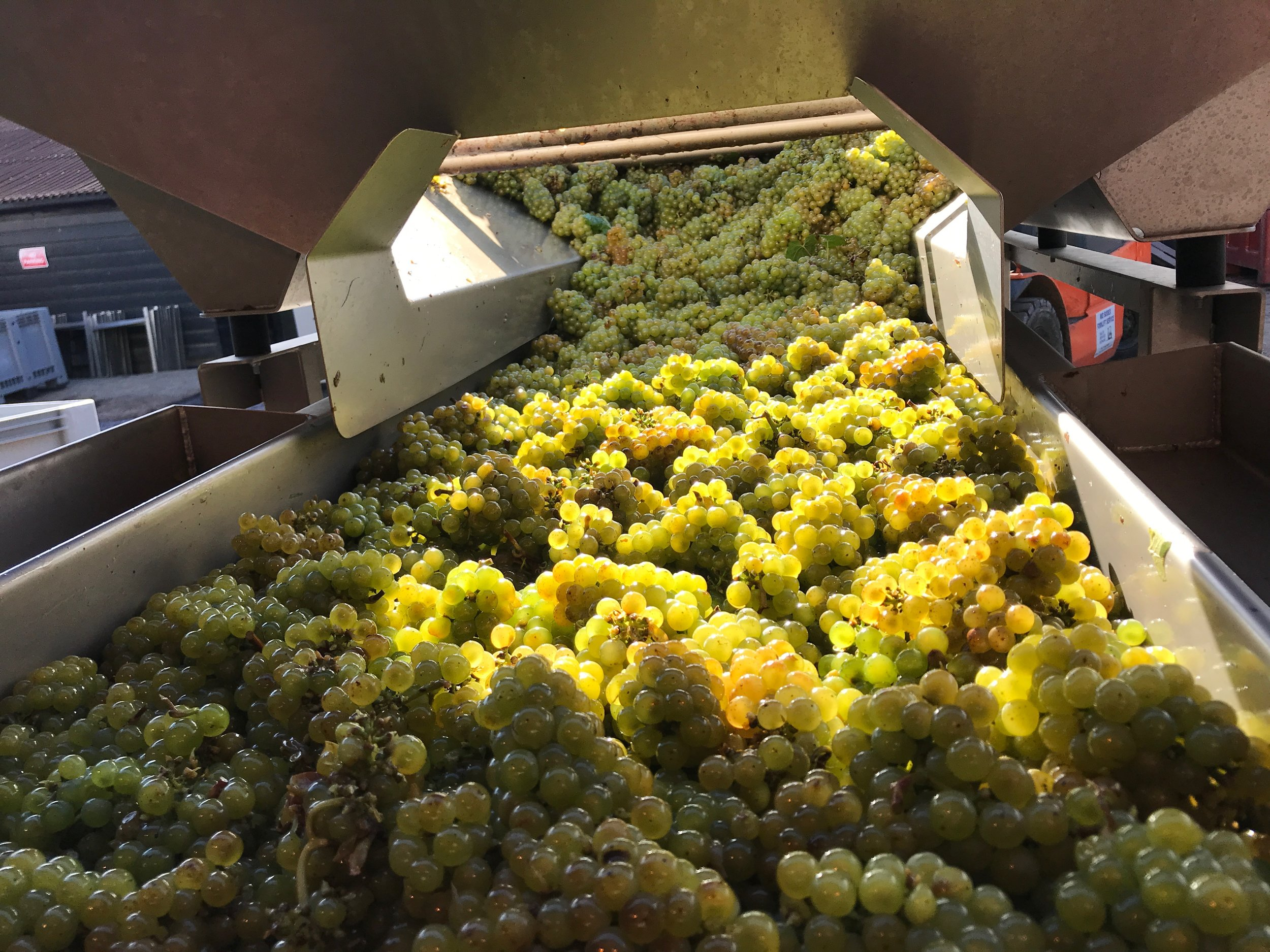 Chardonnay heading for the sorting table at Bolney