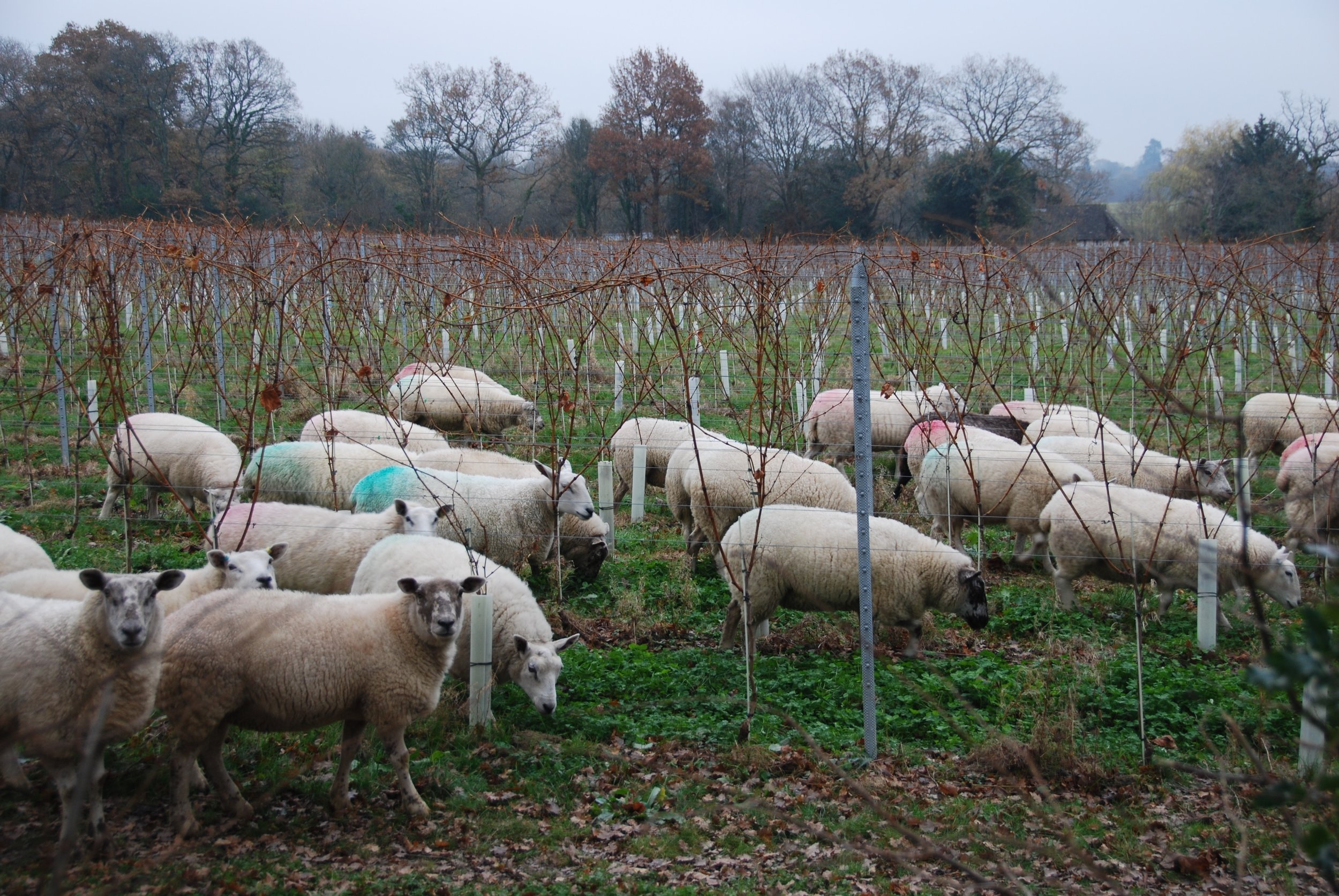 About 100 Easycare sheep have started mowing the vineyard (and fertilising it too)