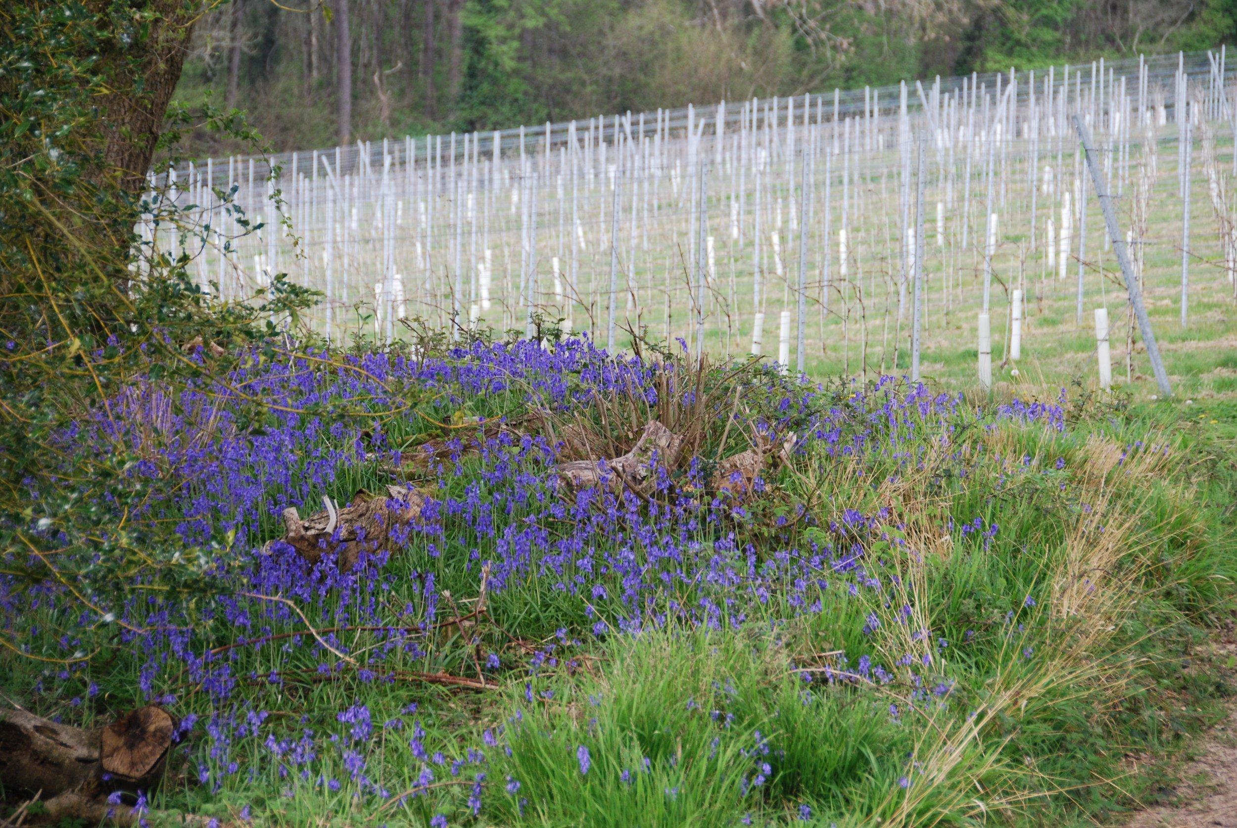 Classic Spring bluebells!