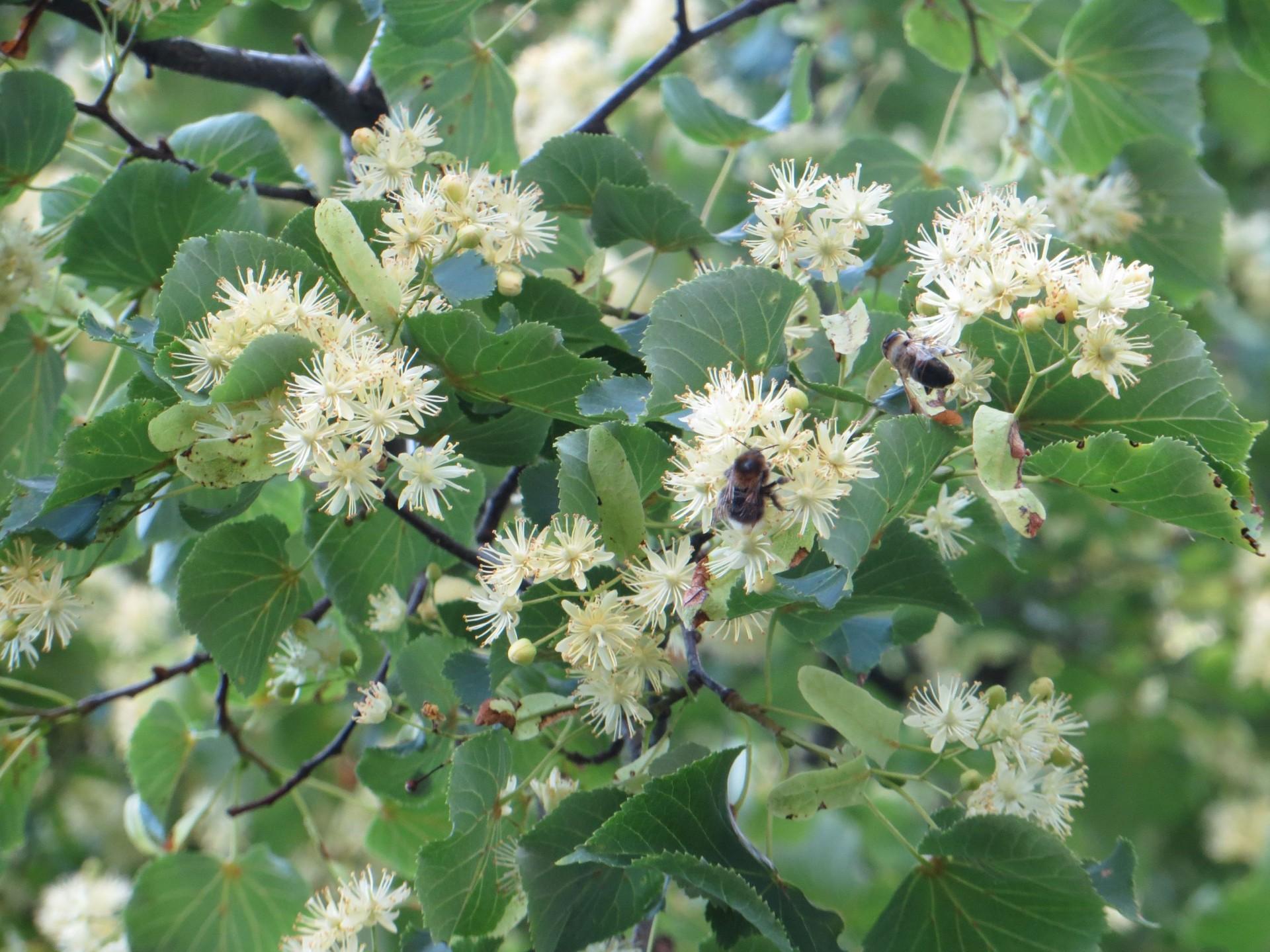 Linden Flower : Soften!