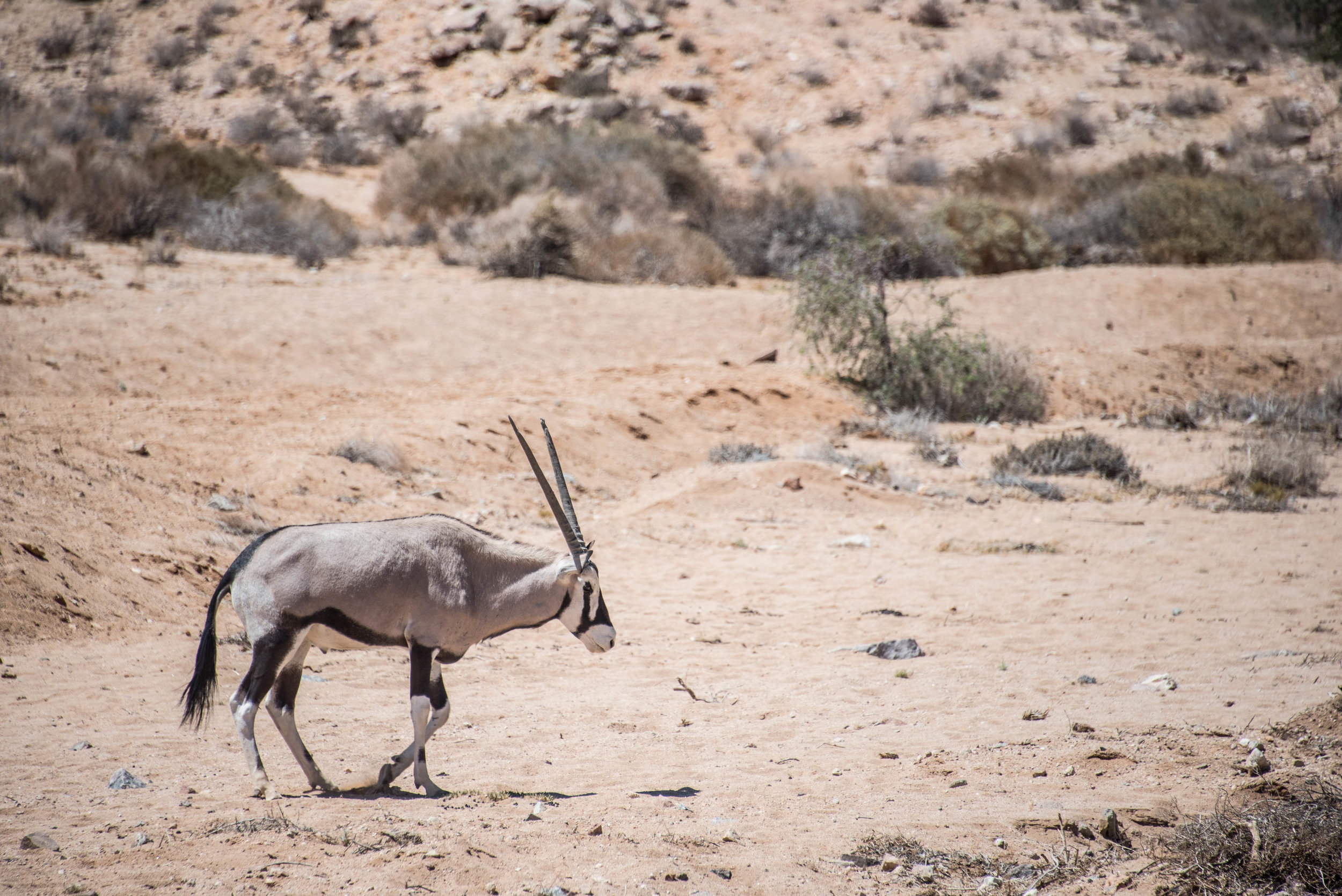 In Namibia, home to the world's oldest desert, gemsbok like this one are a common source of food. Eating vegan was possible, but limited to big plates of french fries, tomato sandwiches, and pots of rice.