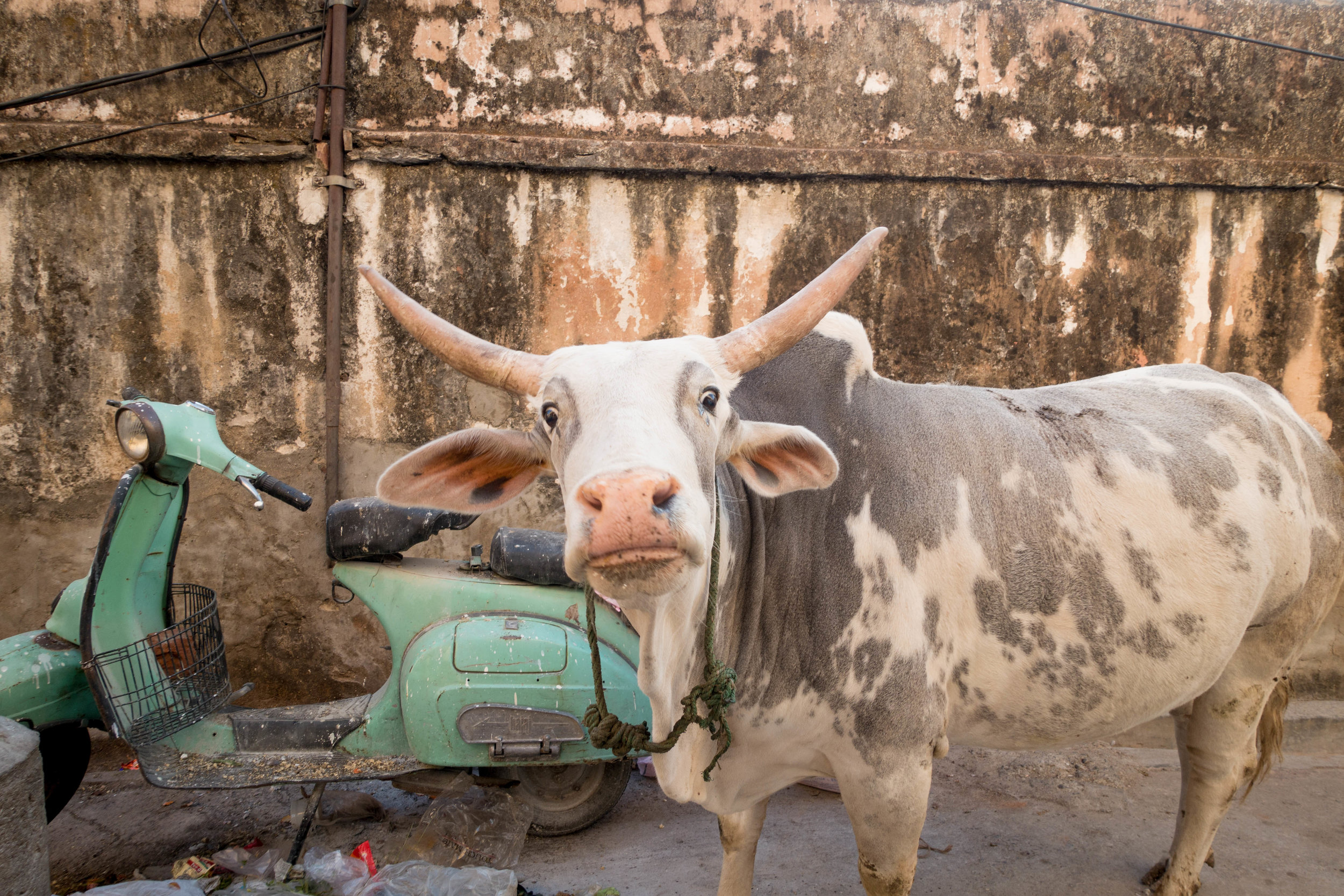 India, where cows are revered and over forty percent of the population eats a plant-based diet, is a vegetarian and vegan's paradise. Food is also amazingly good and incredibly inexpensive.