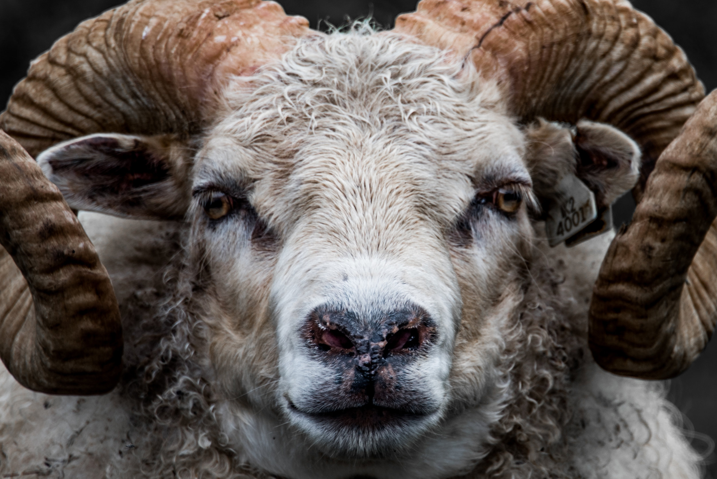 Icelandic sheep may look pretty ferocious and seek to intimidate, but never gave us any actual trouble on the road. They're way more of a danger to (or rather, endangered by) folks speeding along in cars.