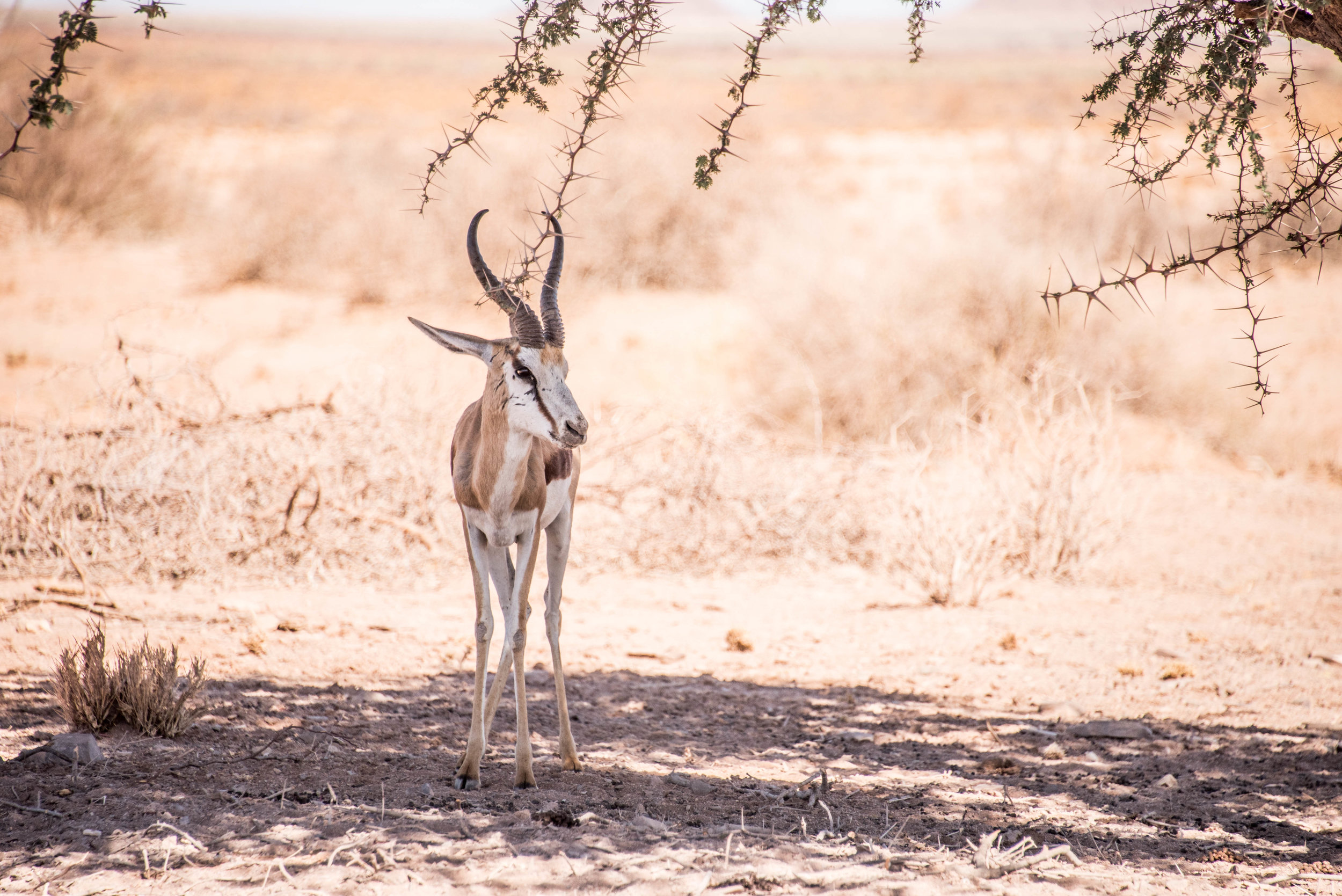 A springbok enjoying some shade during our last visit to Namibia.
