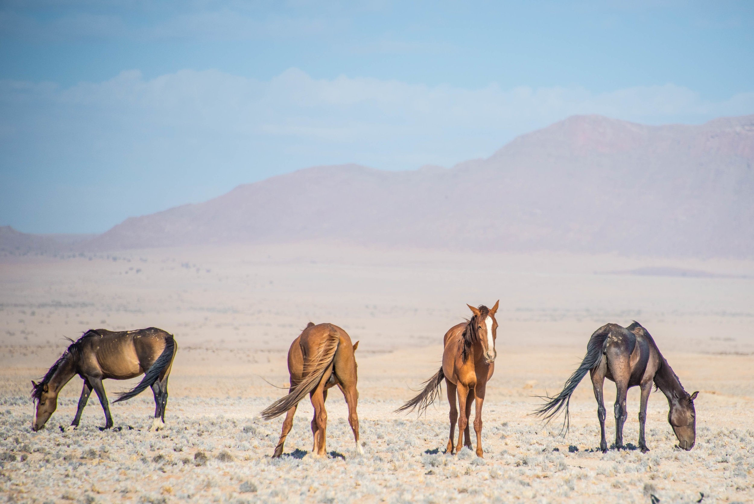 Wild horses of the Namib, just north of western South Africa.