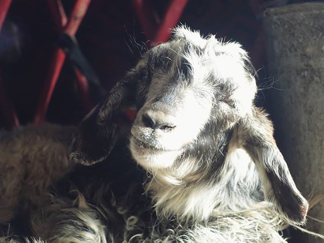 While wind and hail raged outside the yurt, the world's happiest goat kept nice and warm by the fire. 🐐🔥