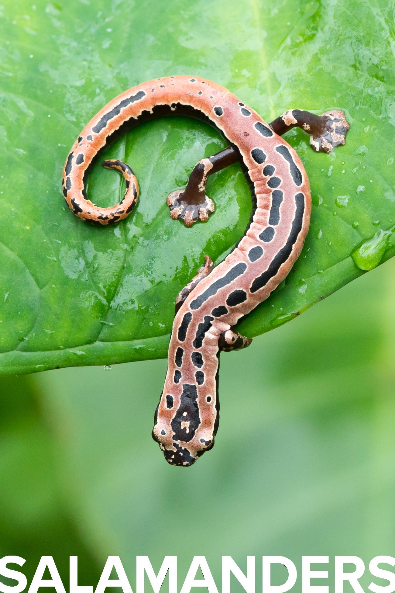 salamanders white.png