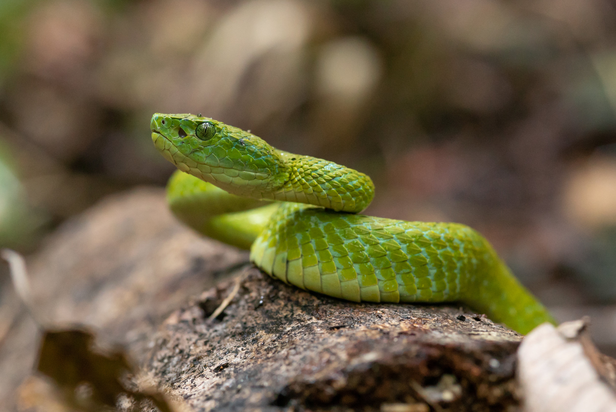 Emerald Palm Pit Viper (Bothriechis Marchi)