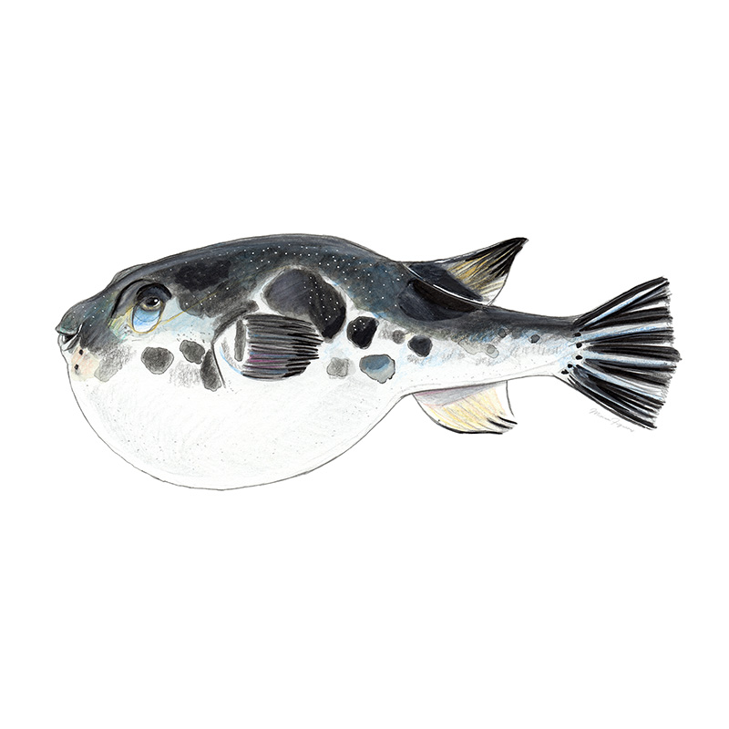 Fugu   (poisonous pufferfish).