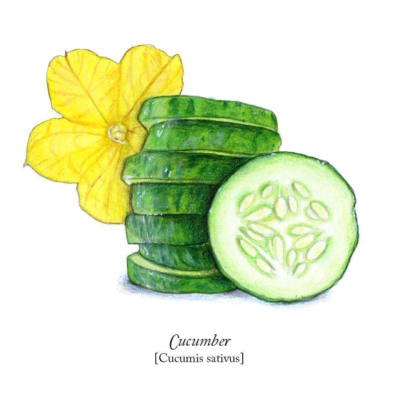 Cucumber_solo.jpg