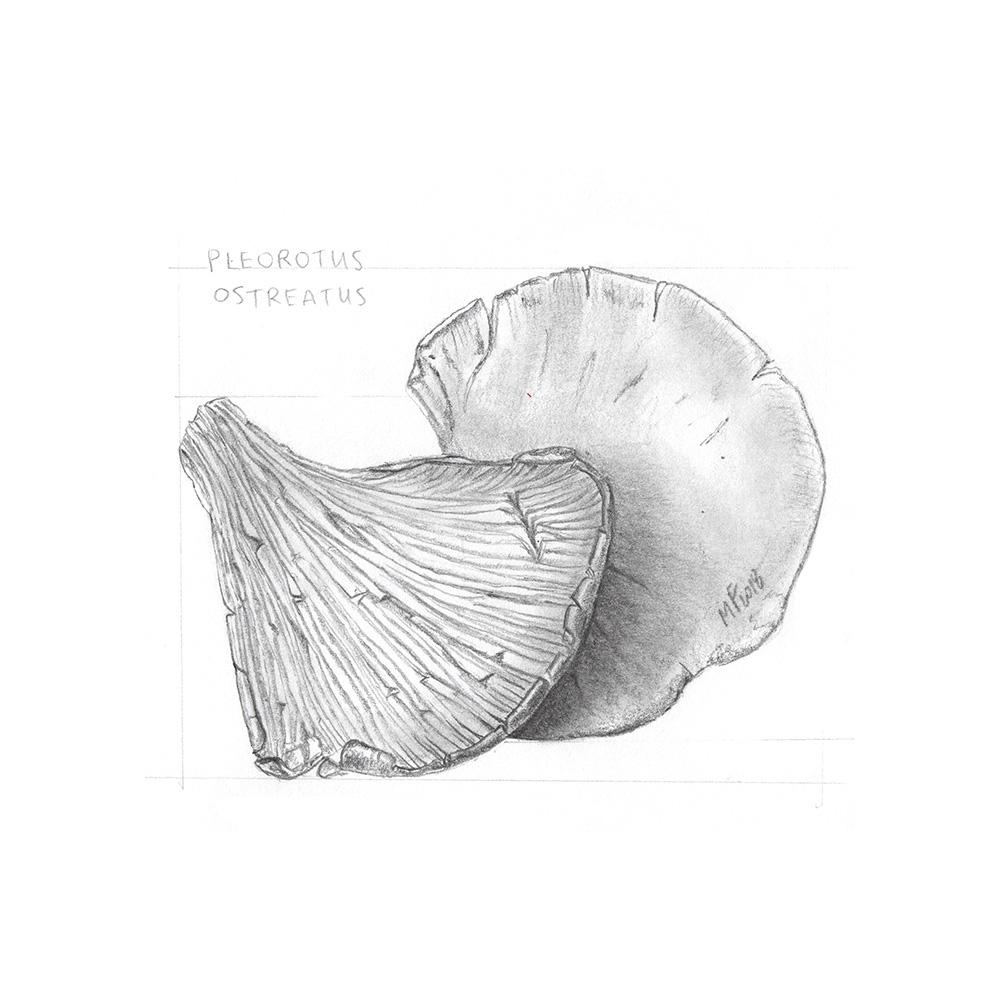 03 Pleurotus Ostreatus_1000PX.jpg