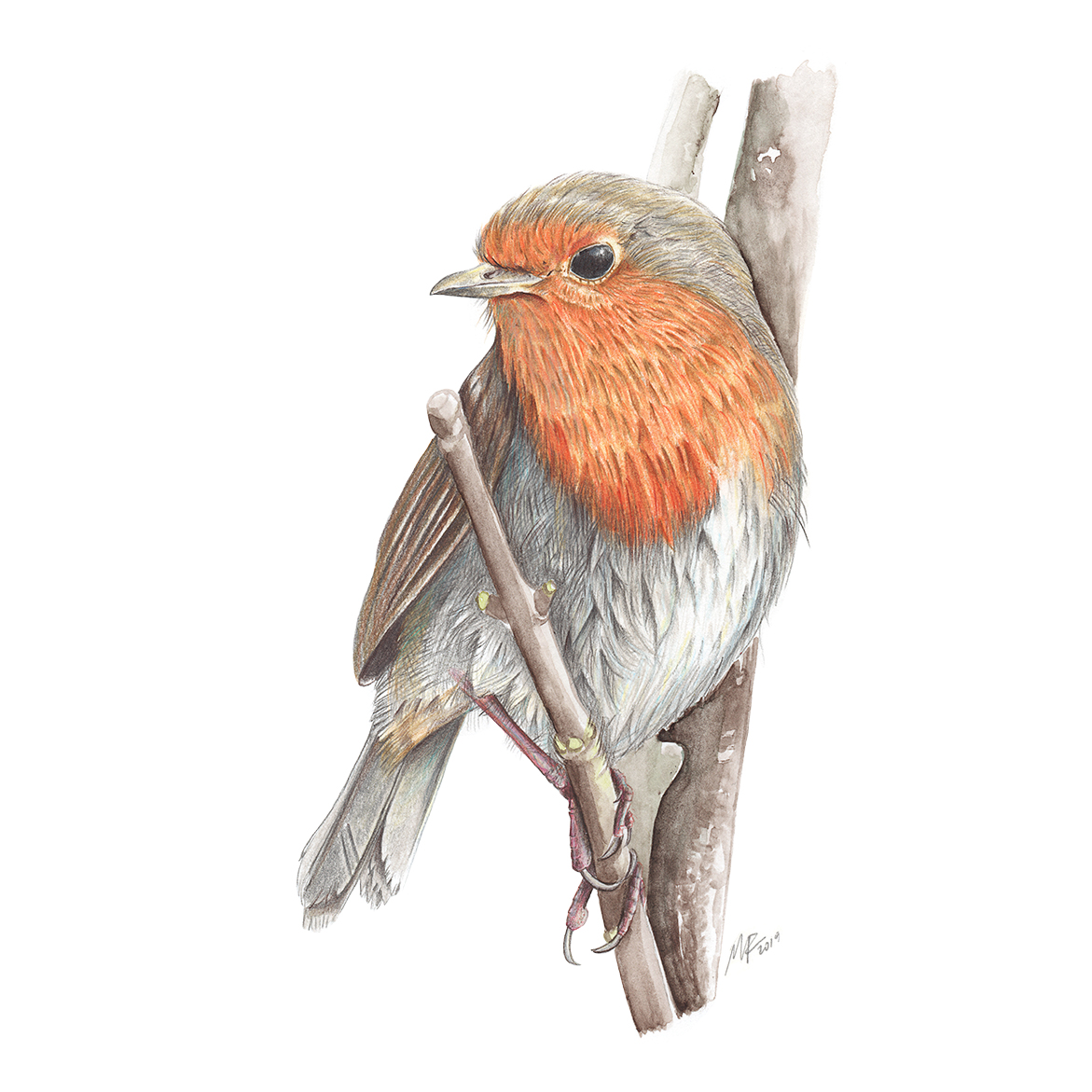 Scottish red robin ( Erithacus rubecula ).