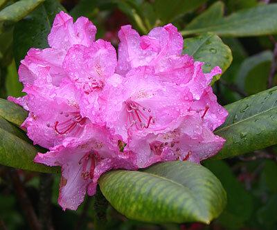 Rhododendron_macrophyllum052805_3.jpg