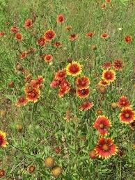 blanket flower.jpg