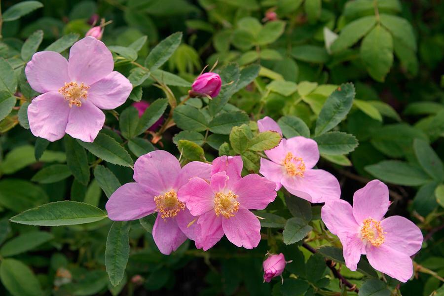 soft-light-on-nookta-rose-rosa-nutkana-ralph-lee-hopkins.jpg