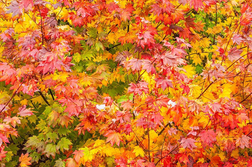 fall vine leaf maple.jpg