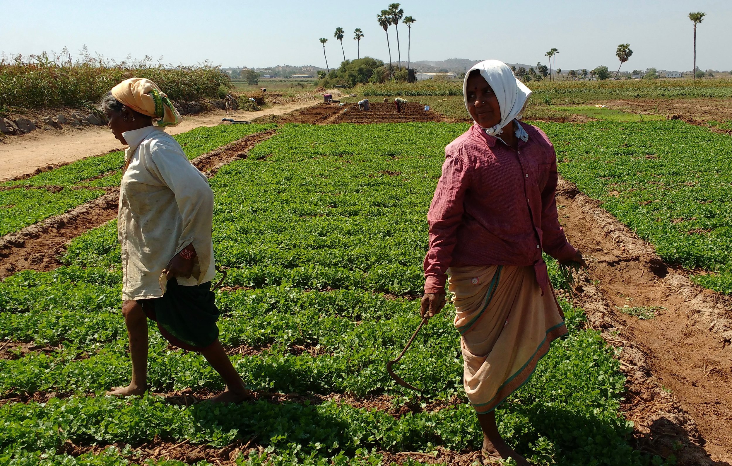 Female farmers are seen harvesting coriander, these are exported to places outside of Telangana as well.