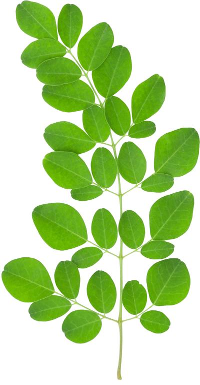 Moringa Leaf.png