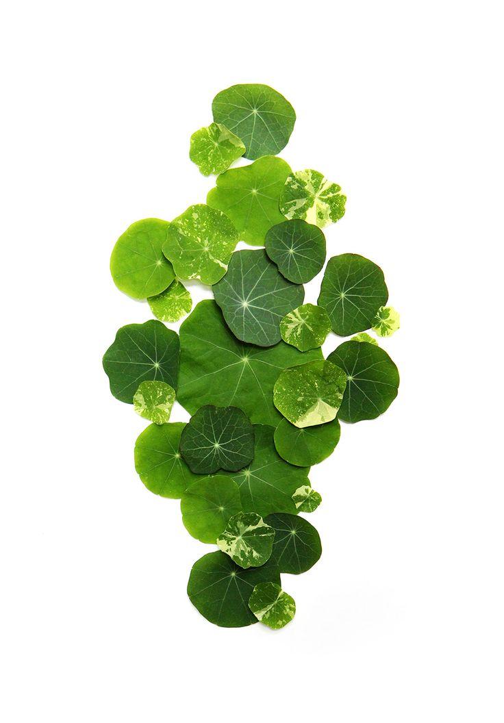 Nasturtium Leaf.jpg